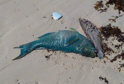 """Brown: """"Bermuda is Witnessing a Fish Die-Off of a Magnitude Not Seen Since at Least 2009"""""""