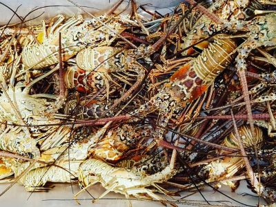 Home Affairs Minister Lowers Cap on Lobster Divers