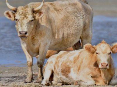 BBC News: Cows Swept Away by Hurricane Dorian Found Alive in North Carolina