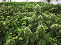 Africa Feeds: Malawi Legalises The Growing, Selling & Export of Cannabis
