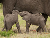 Sri Lanka For The First Time Records Birth of Twin Elephants Calves