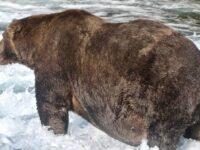 Brown Bear Named 747 Wins Fat Bear Week As Hibernation Season Approaches
