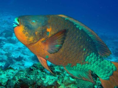 Minister Roban Condemns Illegal Killing of Parrotfish, Investigation Underway