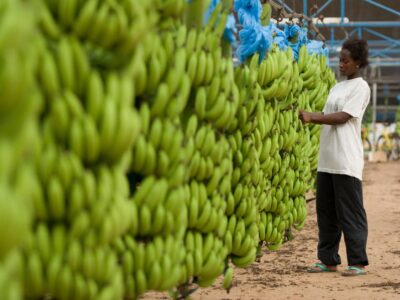 Brexit: £100,000 Of Tariffs Slapped On Fairtrade Bananas From Africa Threatening Farmers With Ruin