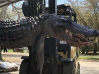 Massive 12ft Alligator Caught & Carved Open To Solve 20-Year Missing Dog Mystery