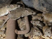 Australian Prison To Be Evacuated After Mice Move In