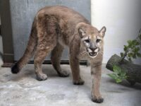 Cougar That Was Kept As Illegal Pet Removed From NYC Home