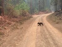 Emaciated Bear Cub May Have Lost Mom To California Wildfire