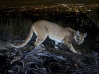 California: Mother Fights Off Mountain Lion With Bare Hands To Save 5-Year-Old Son