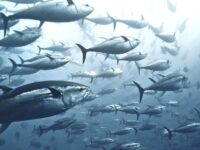 Tuna Bounce Back, But Sharkes In 'Desperate' Decline