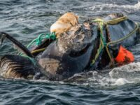 North Atlantic Right Whales Critically Endangered By Climat Crisis, New Study Finds