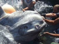 'Stunned' Researchers Rescue 4,000-Pound Sunfish From Net